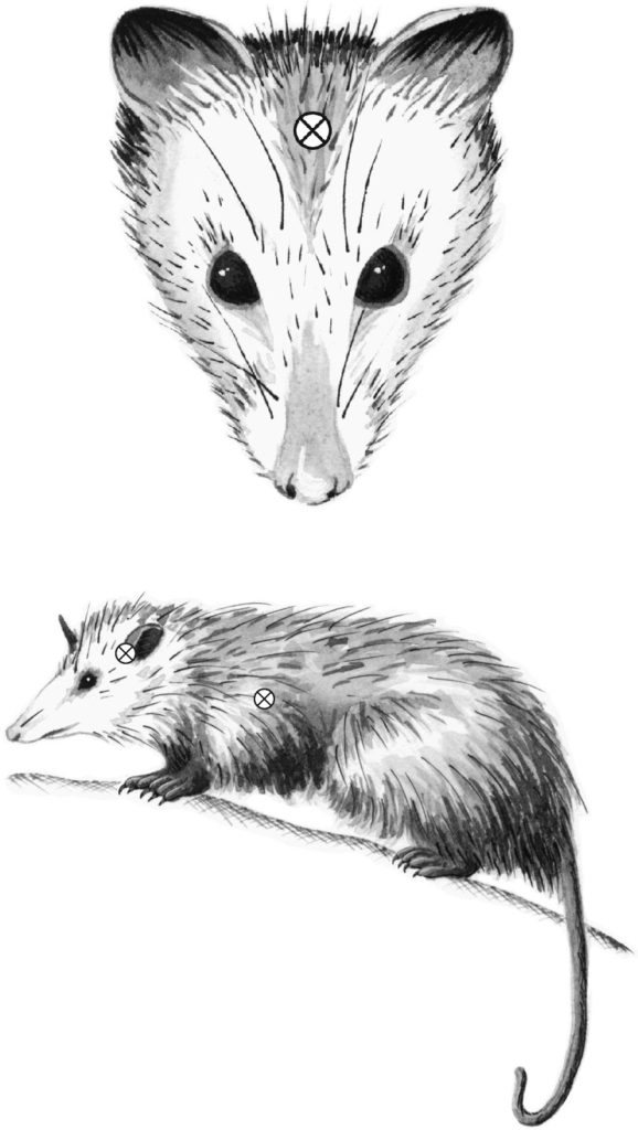 target areas on opossum
